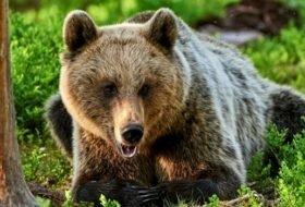 Сколько живет медведь?