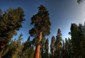 Сколько живет секвойя – рост, особенности и продолжительность