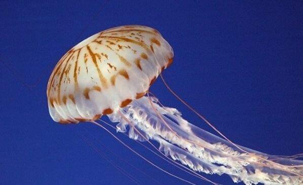 Сколько живут медузы в море