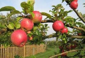 Сколько живет яблоня